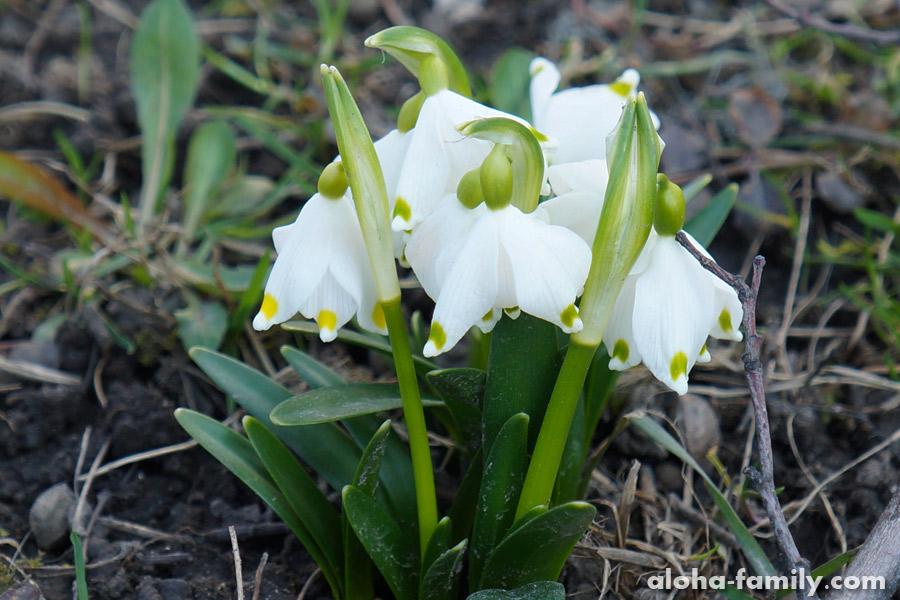 Весенние цветы пробиваются в марте повсюду