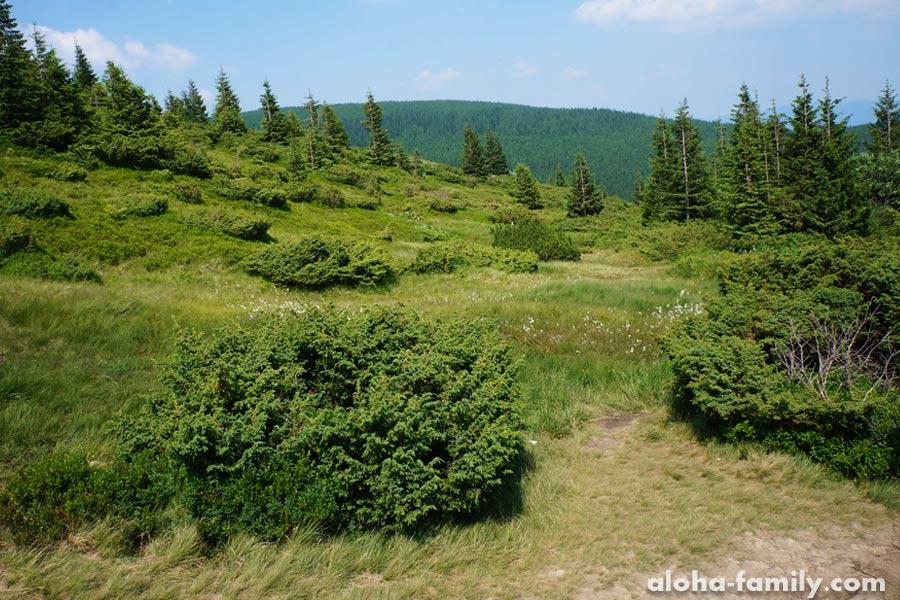 Подъем на Говерлу: граница леса и альпийских лугов