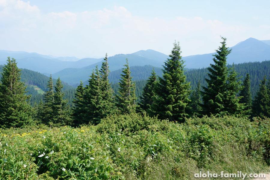 На высоте 1400 метров в Карпатских широтах лес исчезает