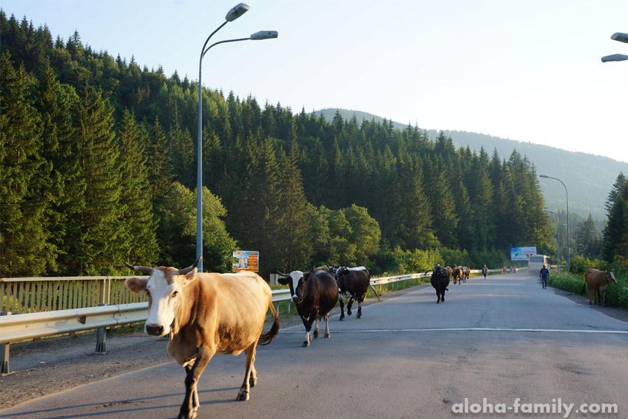 Пробка в Ворохте, коровы в горах