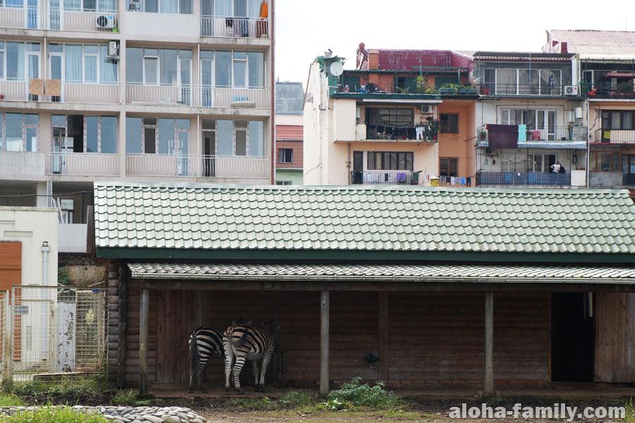 Зебры живут среди людей - гениальная идея сделать зооуголок возле жилых домов