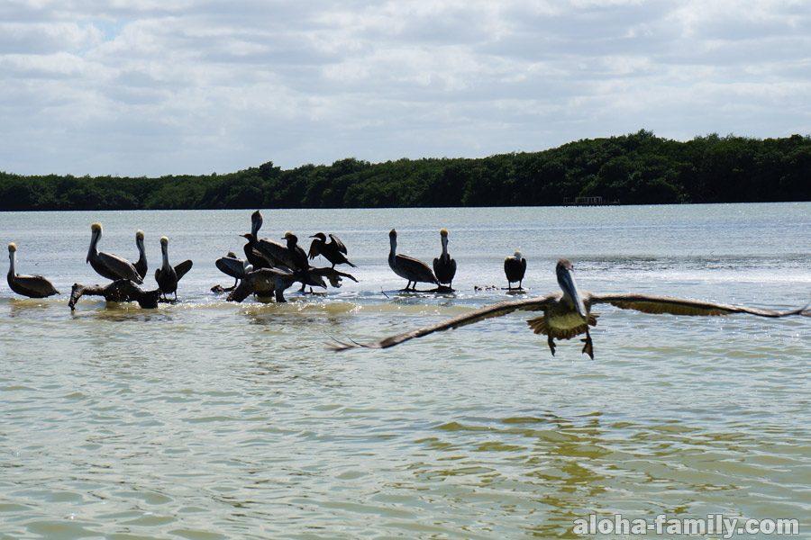Рио Лагартос - пеликаны