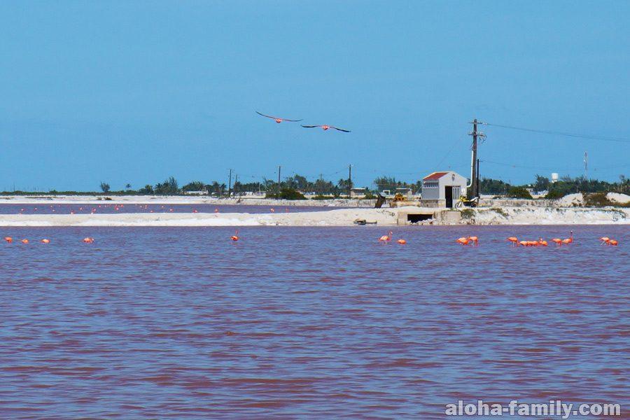 Розовое озеро и фламинго в национальном парке Рио Лагартос, Мексика