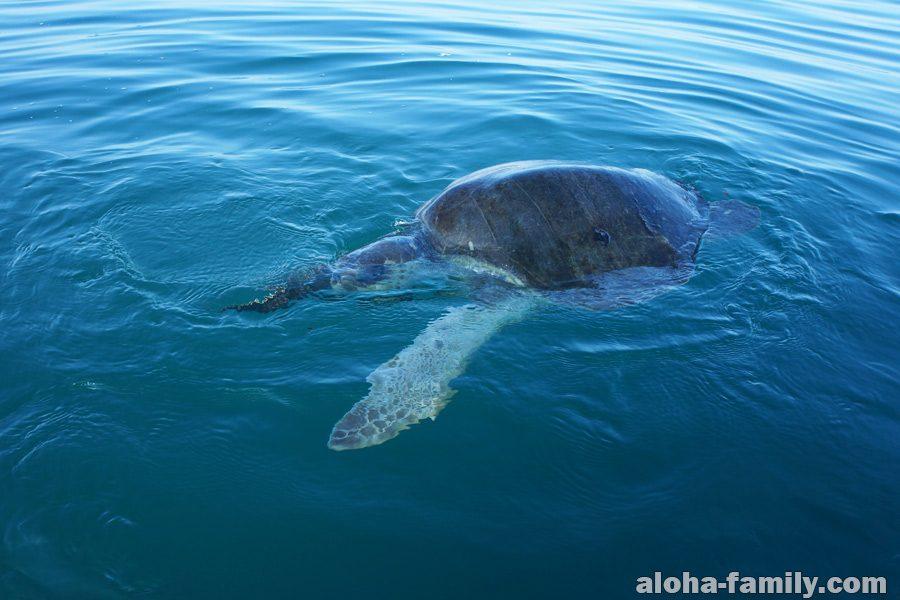 В открытом море возле Пуэрто Эскондидо полно морских черепах